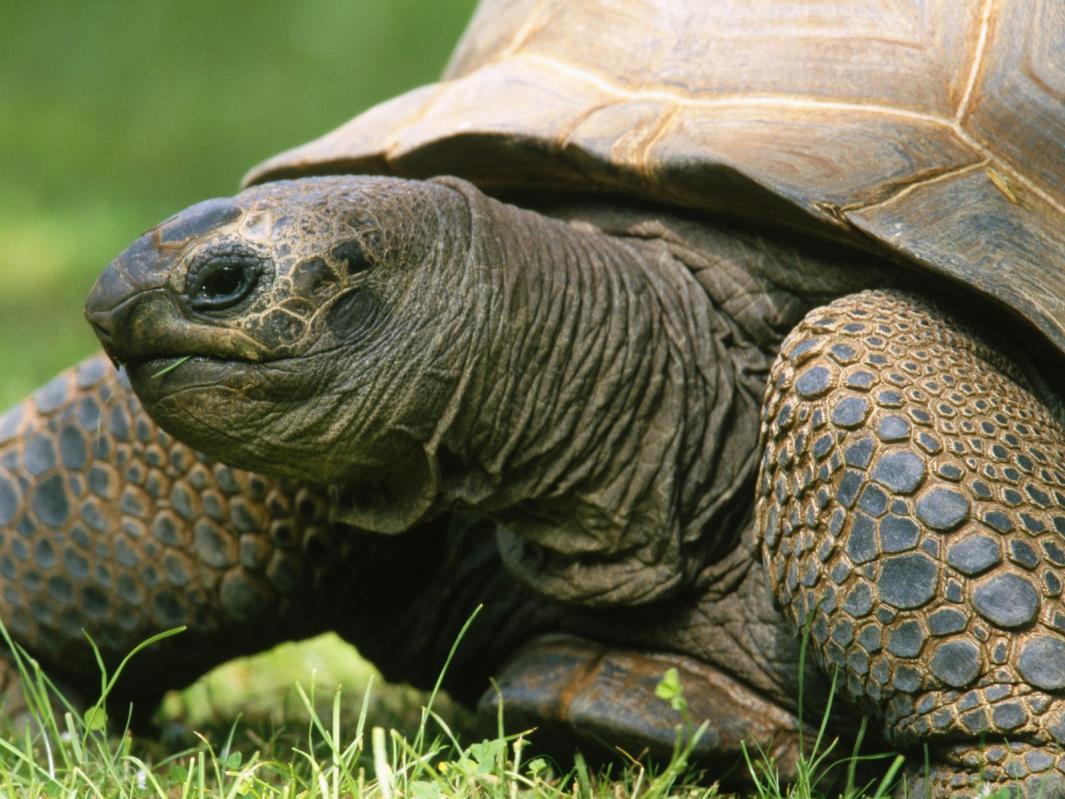 Kaplumbağa neden ve ne zaman kabuğuna saklanır