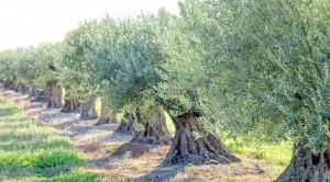 Zeytin Ağacının Her gün Bir Sırrı Çözülüyor